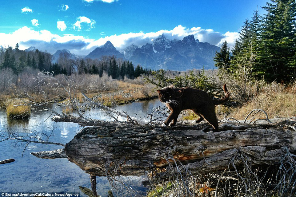 Burma the adventure cat strides along a log in the Grand Teton