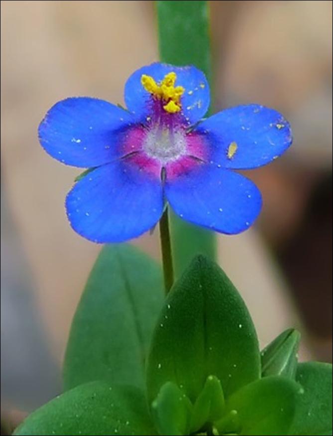 A Blue Anagallis Arvensis