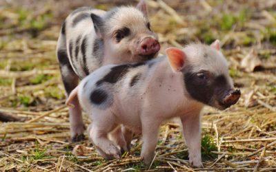 Book Babies + Toddler Time: Pig Tails!